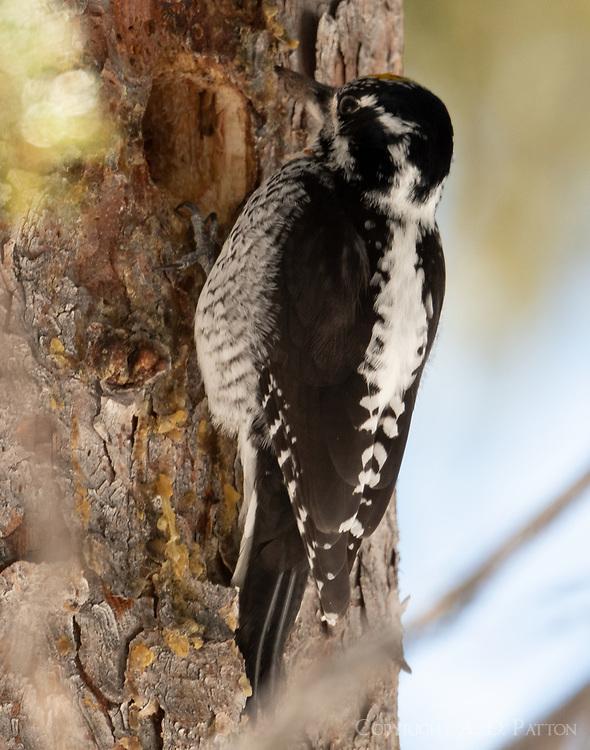 American three-toed woodpecker at nest hole