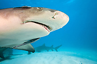 Lemon shark, Negaprion brevirostris, underwater with remoras, West End, Grand Bahamas, Caribbean, Atlantic Ocean