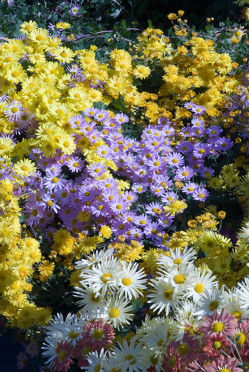 Mix of Chrysanthemums in autumn fall