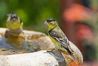 Male lesser goldfinch, Carduelis psaltria. On a backyard fountain in the Santa Cruz Mountains, California