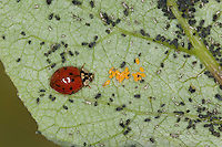 Asiatischer Marienkäfer, Harlekin, hat Eier, Ei in Blattlauskolonie abgelegt, die später schlüpfenden Larven können so gleich Nahrung vorfinden, Harmonia axyridis, Asian lady beetle, Harlequin lady beetle