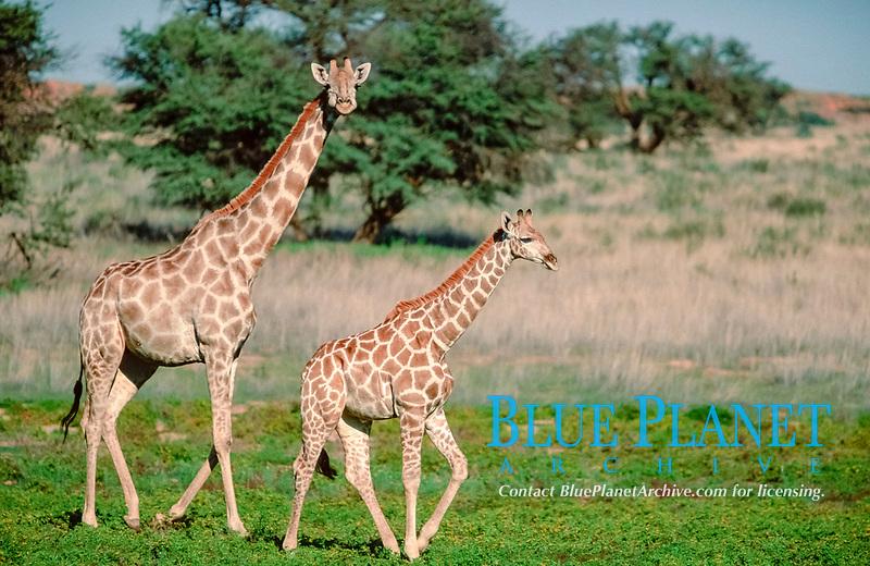 Giraffe with calf, Kalahari Gemsbok Park, South Africa / (Giraffa camelopardalis)