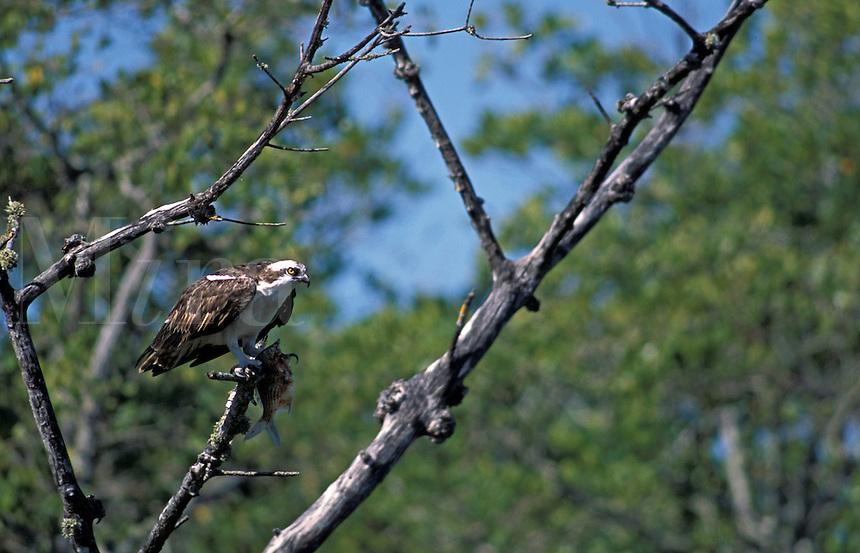 Osprey (Pandion haliaetus) with a fish, Ding Darling National Wildlife Refuge, south Florida
