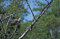 Osprey (Pandion haliaetus) with a fish, Ding Darling National Wildlife Refuge, south Florida