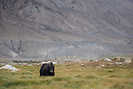 Yak (Bos grunniens) in valley, Sarychat-Ertash Strict Nature Reserve, Tien Shan Mountains, eastern Kyrgyzstan
