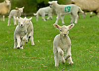 Texel sired lambs from Mule ewes running.