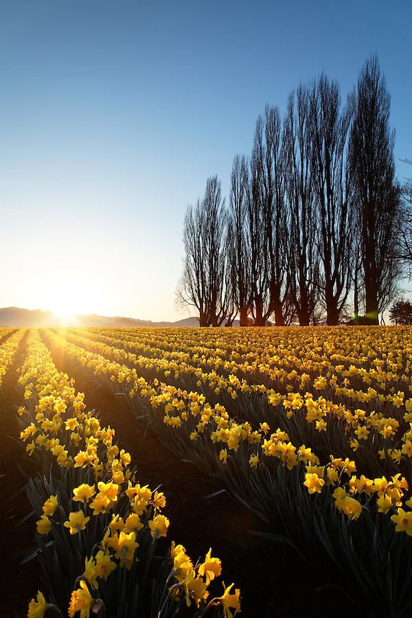 Poplar row and field of yellow daffodils at sunrise, Skagit Valley, Mount Vernon, Skagit County, Washington, USA