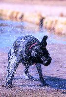 Blurred motion image of a Black Labrador dog shaking water off.