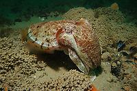 Giant Cuttlefish, Sepia apama, endemic, Port Phillip Bay, Melbourne, Victoria, Australia, Southern Ocean