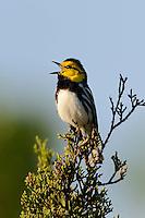 Golden-cheeked Warbler, Killeen, Texas