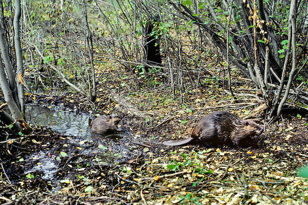 Adult beaver entering woods while young beaver remains near beaver canal, Fall.