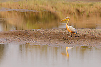 africa, Zambia, South Luangwa National Park,  Great white pelican