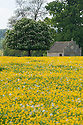 Farm building seen across field of buttercups, Rousham House and Garden.