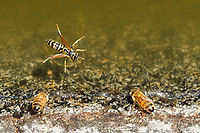 Bees at the waterhole with a wasp