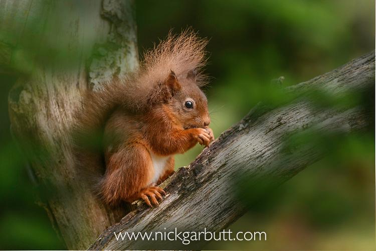 Adult red squirrel (Sciurus vulgaris) foraging in coniferous woodland. Aigas Field Centre, Scottish Highlands. Scotland. October. (baited).