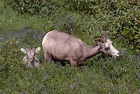 Rocky Mountain Bighorn Sheep - Ewe and Lamb (Ovis canadensis) grazing in Meadow, Jasper National Park, Canadian Rockies, AB, Alberta, Canada