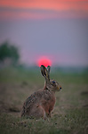 """Pictured : A hare watches as the sun goes down.  Richard Ellis, spotted the female hare in a field near Tysoe in Warwickshire as the sun was setting giving the sky a red, pink and orange hue. <br /> <br /> Richard said, """"This is super time for the hares especially females after giving birth to another litter of wee leverets.""""<br /> <br /> Please byline: Richard Ellis/Solent News<br /> <br /> © Richard Ellis/Solent News & Photo Agency<br /> UK +44 (0) 2380 458800"""