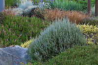 Calluna vulgaris 'Silver King', gray foliage tapestry of heathers in dry stream bed Soest Herbaceous Display Garden, University of Washington Botanic Garden, Center for Urban Horticulture, Seattle
