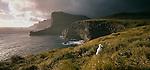 Wandering Albatross chick on nest on South Cape of Adams Island. Auckland islands. New Zealand Sub-Antarctic Islands.