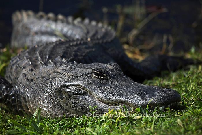 Alligator in Sun  #W43