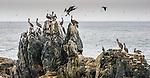 Valparaiso, Chile , Peruvian pelicans (Pelecanus thagus)