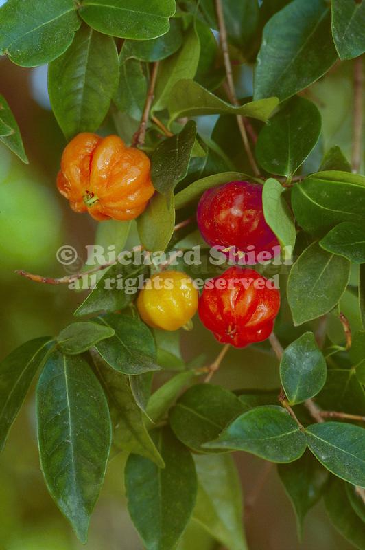 12467-CS Surinam Cherry or Pitanga, edible, Eugenia uniflora, family Myrtaceae, ripens red, at arboretum of California State University, Fullerton USA