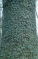 Eichenmoos, Eichen-Moos, Evernia prunastri, Flechte, Strauchflechte an Rinde eines Baumstammes, Oakmoss, Oak-moss