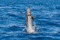 Common Bottlenose Dolphin, Tursiops truncatus, tail-walking. I counted at least 9 small Remora's on this animal, Costa Rica, Pacific Ocean
