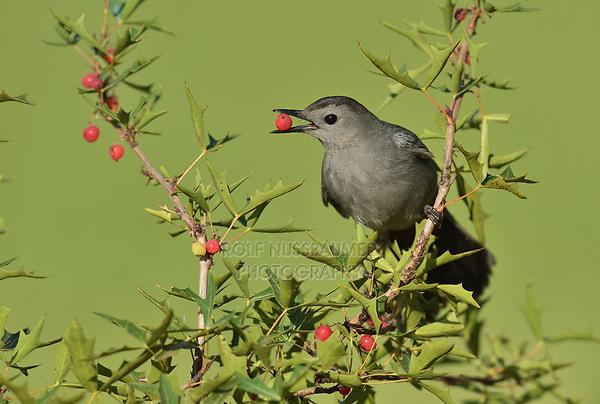 Gray Catbird (Dumetella carolinensis), adult feeding on berries Agarita (Berberis trifoliolata), South Padre Island, Texas, USA