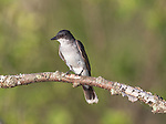 Eastern kingbird in northern Wisconsin.