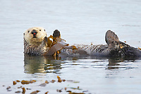 Enhydra lutris nereis, Sea otter, A sea otter floats on its back on the ocean surface, It will wrap itself in kelp (seaweed) to keep from drifting as it rests and floats,, Morro Bay, California, USA