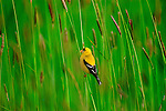 A goldfinch perches in a field of grasses.