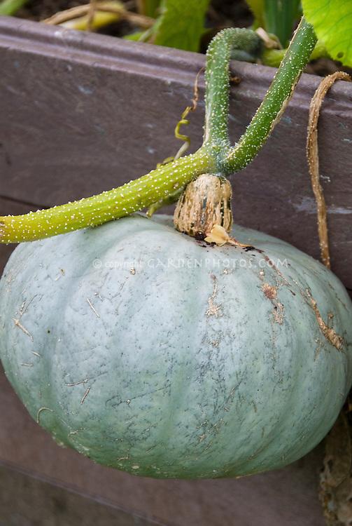 Blue winter squash Hokkaido Stella Blue vegetable growing on vine