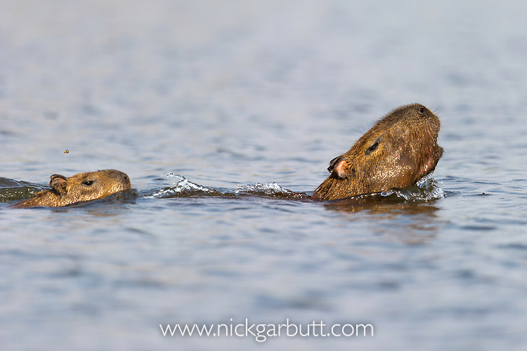 Female capybara (Hydrochoerus hydrochaeris) swimming with young and alarm calling after escaping a Jaguar attack (Panthera onca palustris) in a lagoon off the Paraguay River, Taiama Ecological Reserve, Pantanal, Brazil, South America.