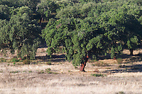 oak tree alentejo portugal