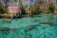 Florida manatee, Trichechus manatus latirostris, a subspecies of West Indian manatee, sign, Three Sisters Springs, Crystal River National Wildlife Refuge, Kings Bay, Crystal River, Florida, USA