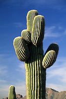 The SAGUARO CACTUS seen here in the SANORAN DESERT can store up to 1500 gallons of water - ARIZONA