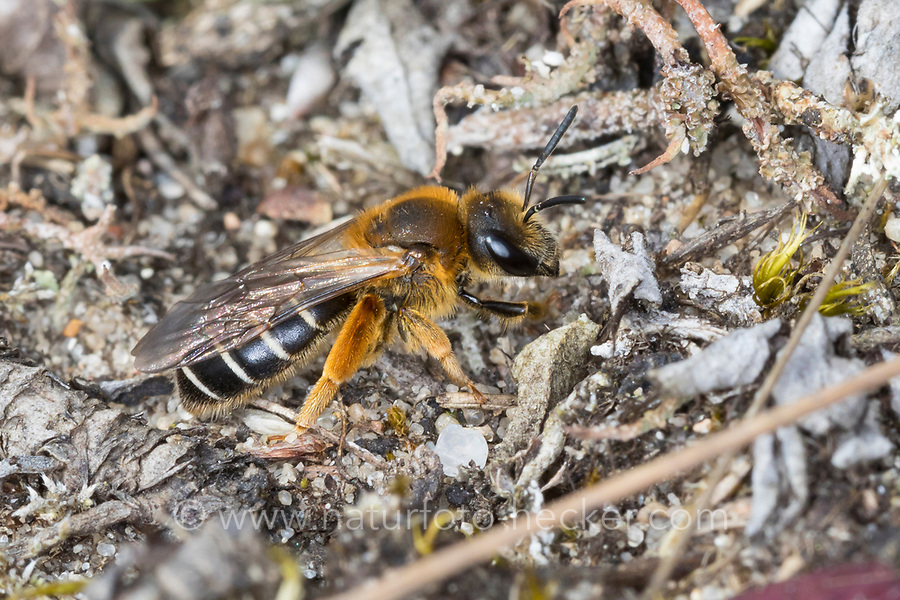 Rotbeinige Furchenbiene, Weibchen, Halictus rubicundus, Orange-Legged Furrow-Bee, Orange-Legged Furrow Bee, female, Schmalbienen, Furchenbienen, Halictidae