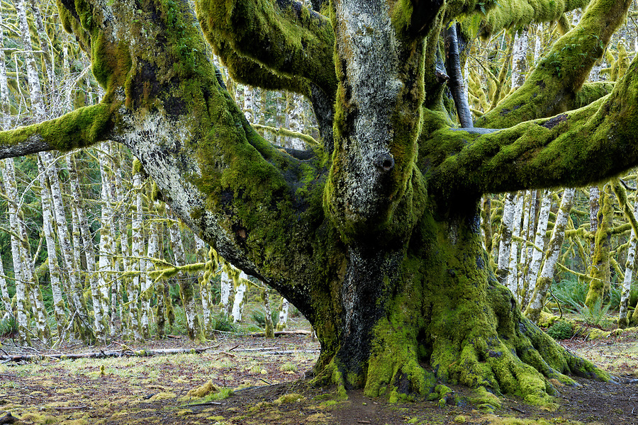Trunk and lower branches of large big leaf maple tree, with forest of red alder trees in background, Fairholme Campground, Olympic National Park, Jefferson County, Washington, USA