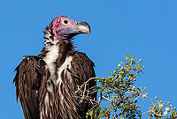 The Lappet-faced Vulture is certainly the biggest (and perhaps ugliest) of Tanzania's vulture species. Or is it the prettiest?