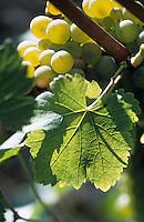 Europe/France/Aquitaine/33/Gironde: Cépage blanc Sauvignon