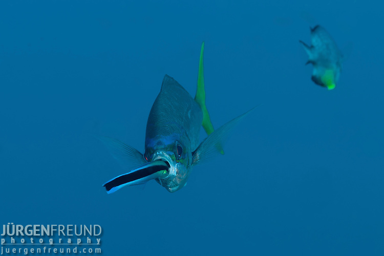 Yellowtail fusilier (Caesio cuning) getting cleaned by a bluestreak cleaner wrasse ((Labroides dimidiatus)