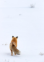During one of our private snow coach days in the interior, we saw six or seven foxes. This one provided the best encounter and photo opportunities as it roamed the floor of Hayden Valley.