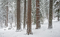 These White Fir trees are weathering the firest winter storm of the season in our back yard in the Sierra Nevada mountains.