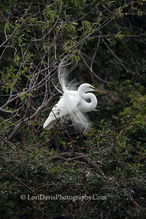 Great Egret Displaying Breeding Plumage  #E24