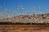 Snow geese morning lift off in total unison. The sound of a freight train comes to mind. Bosque del Apache National Wildlife Refuge in southern Socorro County, New Mexico.