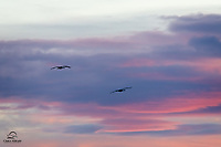 Sandhill Cranes (Grus canadensis) exit a pond as the sun sets over Bosque del Apache National Wildlife Refuge, New Mexico.