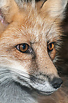 Red Fox, close-up of face, vertical