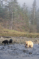 Spirit bear, kermode, black bear, Ursus americanus, mother with cubs fishing in river, rainforest area on the central British Columbia coast, Canada