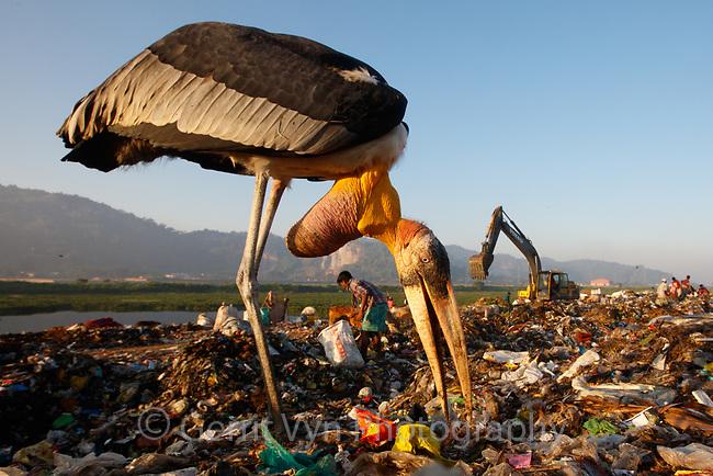 Greater Adjutants and ragpicker at the Boragaon Landfill. Assam, India. December.
